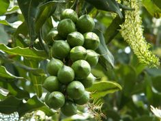 exotic fruits and their names | Macadamia