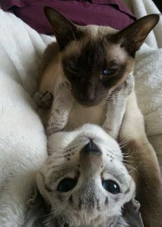 Oriental and Siamese cuddles | follow @sophieeleana