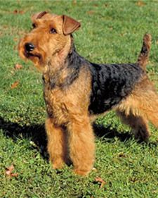 The Welsh Terrier is a zippy, compact companion, always looking for action and entertainment. This breed loves to swim and dig.