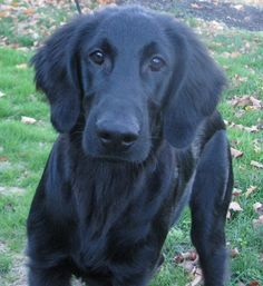 flat-coated retrievers are the best dogs you could possibly have. Best little known secret dog breed. caitgibbs