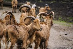 'Mountain Sheep Hogging The Path' (Tom Brown / San Mateo, CA / USA) #NIKON D750 #animals #photo #nature