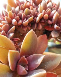 Crested Fred Ives @urbanfarm_ph instagram Ph, Cactus, Succulents, Fruit, Plants, Instagram, Succulent Plants, Plant, Planets
