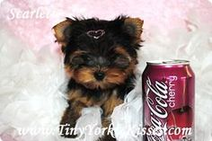 Your Source for Tiny and Teacup Yorkie Puppies for Sale Local in Vacaville, Northern California, Near Sacramento and San Francisco CA
