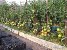 Recommendations for growing tomatoes in the open Farm Gardens, Outdoor Gardens, Growing Tomatoes, Small Farm, Urban Farming, Botany, Vegetable Garden, Eggplant, Landscape