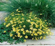 """Easy to grow"" Coreopsis--This ""moonbeam"" variety doesn't need deadheading and is a long-bloomer! ooOOooh."