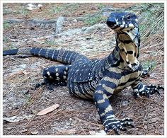 Goannas are the largest dragon in Australia ...