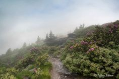 """""""Hike Along the Grassy Ridge"""" - Grassy Ridge Bald in the Roan Mountain Highlands is at 6,165 feet in elevation near the border of Tennessee and North Carolina.  Every June Grassy Ridge is covered with Catawba rhododendron. They grow on the open mountainsides, nestled between boulders and along the Grassy Ridge Trail."""
