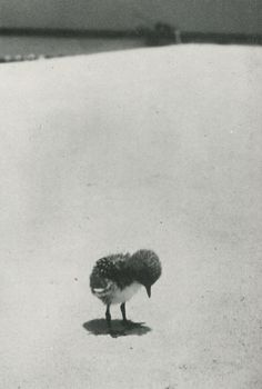 Fritz Goro :: Sooty Tern Chick standing lonely on the Beach as it waits for its Parents to return from their Daily Hunting on the Great Barrier Reef, 1950 Monochrome Photography, Black And White Photography, Animal Photography, Seigner, Old Children's Books, Super Cute Animals, Adorable Animals, Black And White Baby, Kawaii