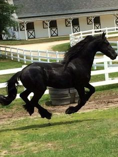 Cantering Black Friesian.