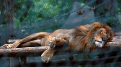 A starved lion asleep in a Venezuelan zoo while the food crisis reaches it's ultimate high.