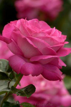 Baronne Edmond de Rothschild, Hybrid Tea rose. Meilland International (France, 1968).   © Tina & Horst Herzig
