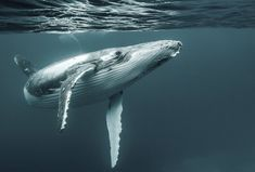 Diving With A Humpback Whale (have heard them while diving and seen them on the surface... Have yet to spot one underwater though!)