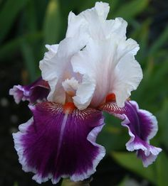World of Irises: TALL BEARDED IRIS FROM THE '70s AND '80s