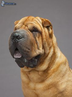 Shar Pei x 2000 px] - Animals/Dogs - Pictures and wallpapers Cachorros Shar Pei, Rare Dogs, Rare Dog Breeds, Shar Pei Puppies, Dogs And Puppies, Sharpei Dog, Chinese Dog, Chinese Sharpei, Dog Portraits