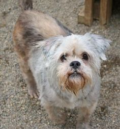 3 / 11     Petango.com – Meet Norris, a 6 years 7 months Griffon, Brussels / Lhasa Apso available for adoption in NOBLESVILLE, IN Contact Information Address  1721 Pleasant Street, NOBLESVILLE, IN, 46060  Phone  (317) 773-4974  Website  http://www.hamiltonhumane.com  Email  customerservice@hamiltonhumane .com
