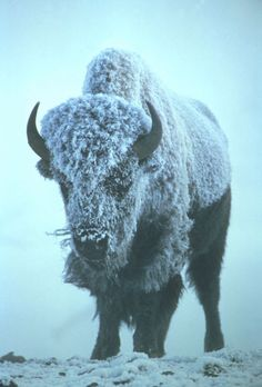 frost on a bison