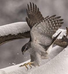 astore Beautiful Birds, Animals Beautiful, Northern Goshawk, Animal Photography, Wildlife Photography, Hawk Bird, Animal Symbolism, Peregrine Falcon, Big Bird