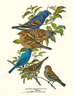 Grosbeaks-Buntings Vintage Bird Illustration, Giclee Art Print by Louis Agassiz Fuertes, $19.95