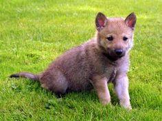 First Year With Our Wolfdog - Rakša - Československý vlčák