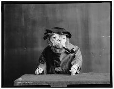Bulldogs in fancy dress, library of congress