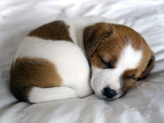 Why adorable puppies make you feel violent Cute Animal Quotes, Cute Animal Videos, Cute Animal Pictures, Jack Russell Puppies, Jack Russell Terrier, Cute Puppies, Cute Dogs, Dogs And Puppies, Doggies
