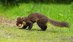 "(Northern) European Pine Marten-- related to minks, otters, badgers, wolverines, and weasels.  About the size of a domestic cat.   Fur is usually light to dark brown, with a cream to yellow ""bib"" marking on its throat.  Lives in well-wooded areas--dens in hollow trees or scrubby fields.  Mainly active at dusk & night.  Ominvorous.  Common in Scotland, a few in Wales & Ireland, virtually none in England.  8-10 yr life expectancy in the wild."