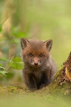 red fox cub by ben hall Cute Creatures, Beautiful Creatures, Animals Beautiful, Nature Animals, Animals And Pets, Cute Baby Animals, Funny Animals, Pet Fox, Fox Baby