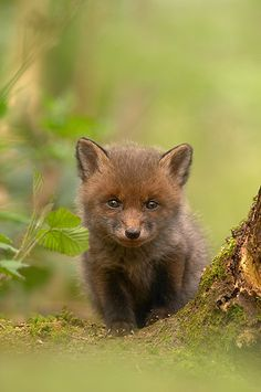 Red Fox Cub by Ben Hall