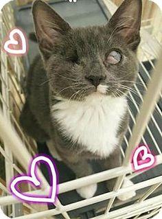Westbury, NY - Domestic Shorthair. Meet Trinity, a kitten for adoption. http://www.adoptapet.com/pet/16798661-westbury-new-york-kitten
