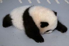 < Pandas are so cute and dumb. stalking too much panda posts Panda Cam, Panda Bebe, Red Panda, Cute Funny Animals, Cute Baby Animals, Animals And Pets, Wild Animals, Types Of Pandas, Baby Panda Bears