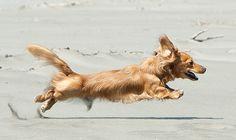 Cream colored Dachshund  http://www.everyonelovesadachshund.com/wp-content/uploads/2012/02/dachshund_long_appearance2.jpg