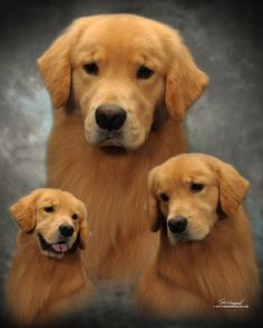 Shiloh Composite - Just beautiful! A gorgeous golden and such a great photo collage! <3
