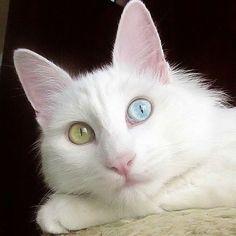 c59c93fccf985d питомник турецкой ангоры Anamur aka Pretty Eyes Turkish Van Cats