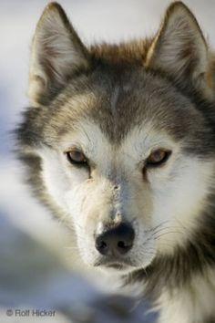 siberian husky by shadowangel