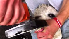 How to trim an alpaca's teeth