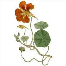 fleur de capucine - Recherche Google