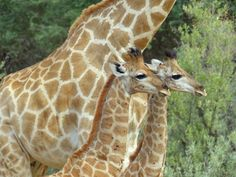 How adorable are our twin giraffe? ☀🦒 #africa #namibia #windhoek #destination #nature #wellness #fitness #holiday #giraffe #spa #landscape #accommodation #tranquillity #gocheganas #reserve #resort #lodge #travel