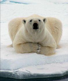 L'ours polaire chasse le phoque, parfois le morse, de deux façons différentes.    L'ours traque sa proie grâce à son camoufalge et s'immobilise dès que l'animal le regarde. Il le charge sur les 15 à 30 derniers mètres à une vitesse de 55km/h.  A l'affût, l'ours attend sans bouger à côté d'un trou de respiration creusé par un phoque, et le saisit à la surface lorsque ce dernier monte pour respirer. L'ours mord dans la tête du phoque et le traîne sur une courte distance avant de le conso