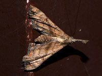 Faint-spotted Palthis