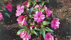 What is causing New Guinea impatiens to wilt?