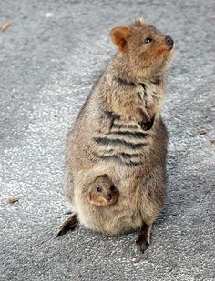 Quokkas come from the same family as the kangaroo (called Macropodidae) and they live on a handful of small Australian islands such as Rottnest Island and Bald Island. They can live for up to ten years, and just like other Macropods, the quokka is herbivo Happy Animals, Nature Animals, Cute Baby Animals, Animals And Pets, Funny Animals, Nocturnal Animals, Small Animals, Wild Animals, Funny Cats