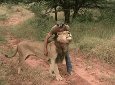 Man and Lion Friends