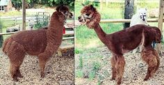 Llama & Alpacas for sale: Easy keepers, easy on the ground, and hardy animals. Gentle with people and come in variety of colors. Raised with a variety of livestock - great livestock guardians! Teacup Piglets, Alpacas For Sale, Mini Goats, Mini Donkey, Dwarf Goats, Llama Alpaca, Pets For Sale, Paradise Valley, Visit Website