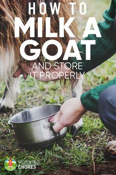 Are you a first-time goat owner and not sure how to milk a goat properly? No worries, today you learn it properly plus how to store the milk. Are you a first-time goat own Feeding Goats, Raising Goats, Happy Goat, Goat Barn, Nigerian Dwarf Goats, Mini Farm, Goat Farming, Baby Goats, Mini Goats