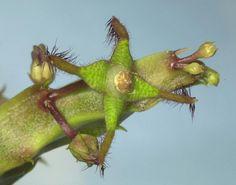 Caralluma bhupinderiana