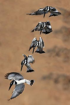 Pied kingfisher sequence by John Banks