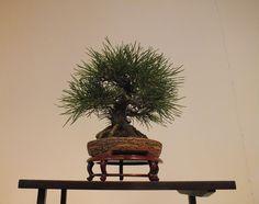 bonsai by Gerard Stolk ( vers le jour de la reine), via Flickr