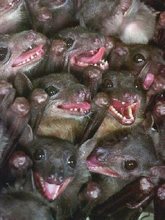 teeth of fruit bat Creatures Of The Night, All Gods Creatures, Strange Creatures, Baby Animals, Funny Animals, Cute Animals, Wild Animals, Beautiful Creatures, Animals Beautiful