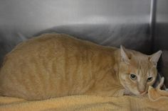 Meet Jack, an adoptable Domestic Short Hair looking for a forever home. If…