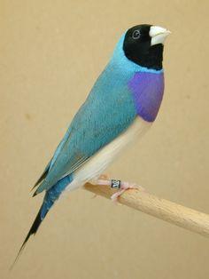 Pretty little jewels...  Blue Back, Black Headed, Lady Gouldian Finch